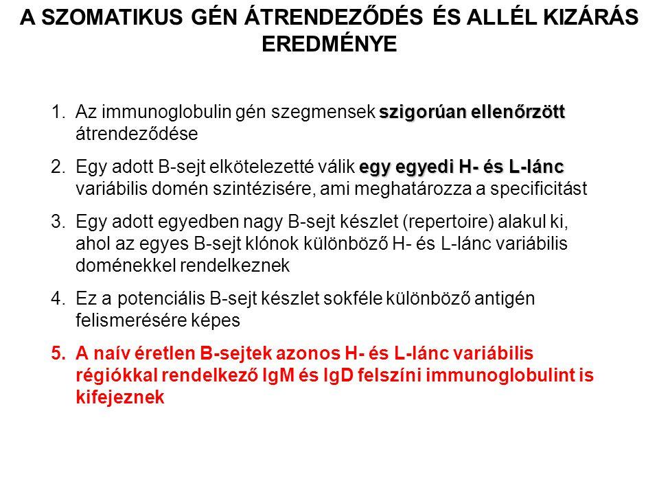 szigorúan ellenőrzött 1.Az immunoglobulin gén szegmensek szigorúan ellenőrzött átrendeződése egy egyedi H- és L-lánc 2.Egy adott B-sejt elkötelezetté