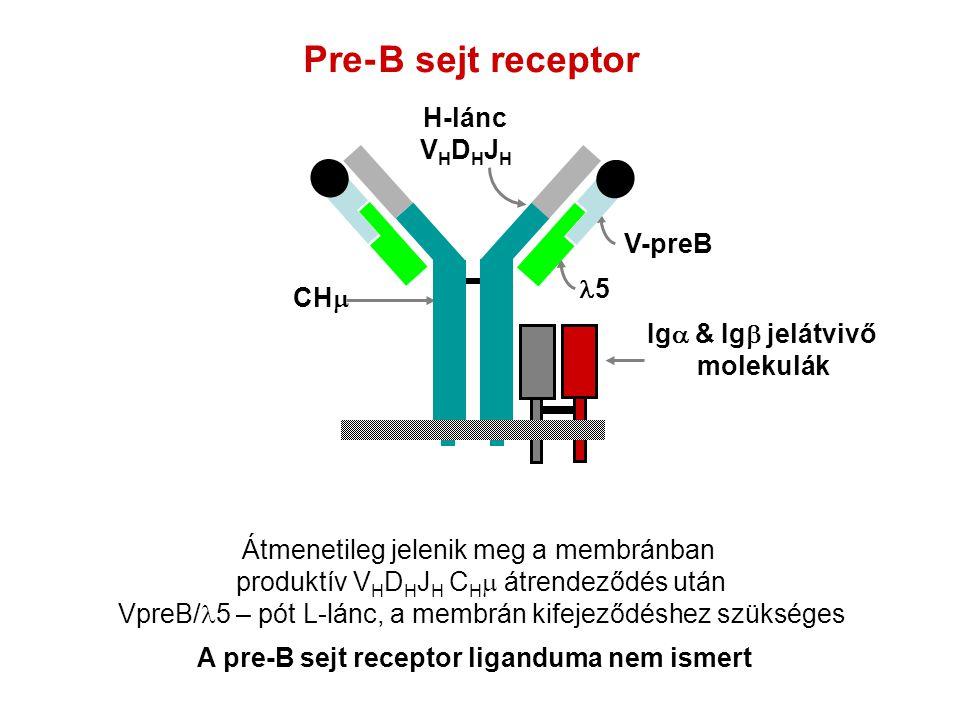 B sejt receptor Átmenetileg jelenik meg a membránban produktív V H D H J H C H  átrendeződés után VpreB/ 5 – pót L-lánc, a membrán kifejeződéshez szü