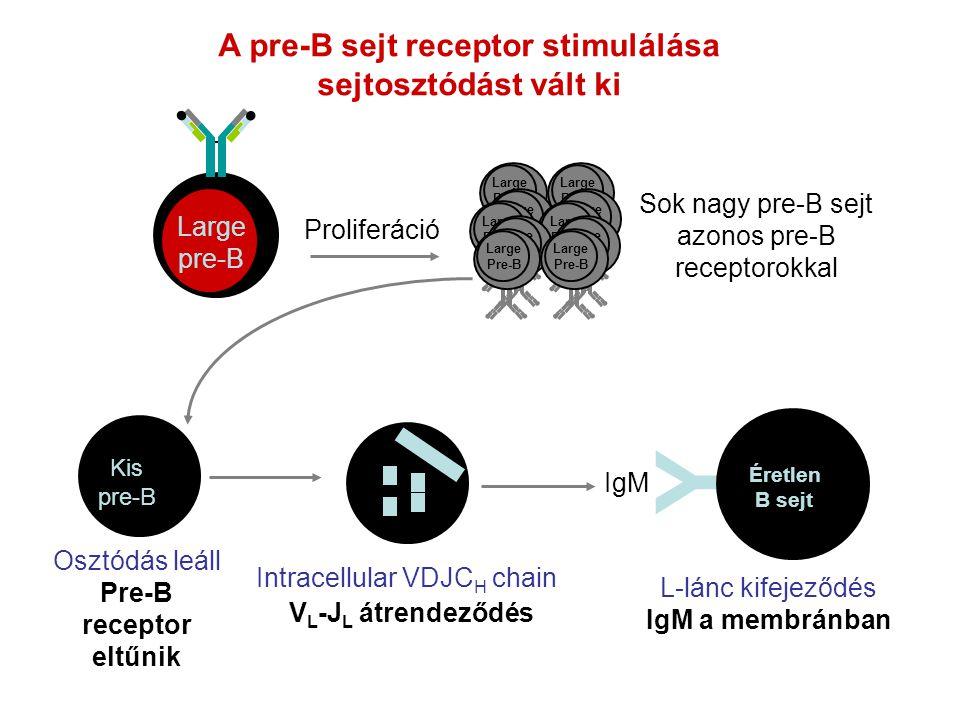 Proliferáció Y Éretlen B sejt L-lánc kifejeződés IgM a membránban IgM A pre-B sejt receptor stimulálása sejtosztódást vált ki Large pre-B Sok nagy pre