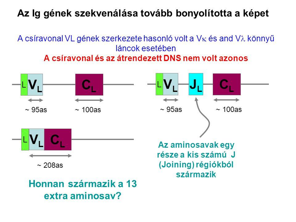 Az Ig gének szekvenálása tovább bonyolította a képet A csíravonal VL gének szerkezete hasonló volt a V  és and V könnyű láncok esetében A csíravonal és az átrendezett DNS nem volt azonos Honnan származik a 13 extra aminosav.