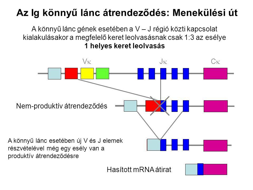 Az Ig könnyű lánc átrendeződés: Menekülési út A könnyű lánc gének esetében a V – J régió közti kapcsolat kialakulásakor a megfelelő keret leolvasásnak csak 1:3 az esélye 1 helyes keret leolvasás VV JJ CC Nem-produktív átrendeződés Hasított mRNA átirat A könnyű lánc esetében új V és J elemek részvételével még egy esély van a produktív átrendeződésre