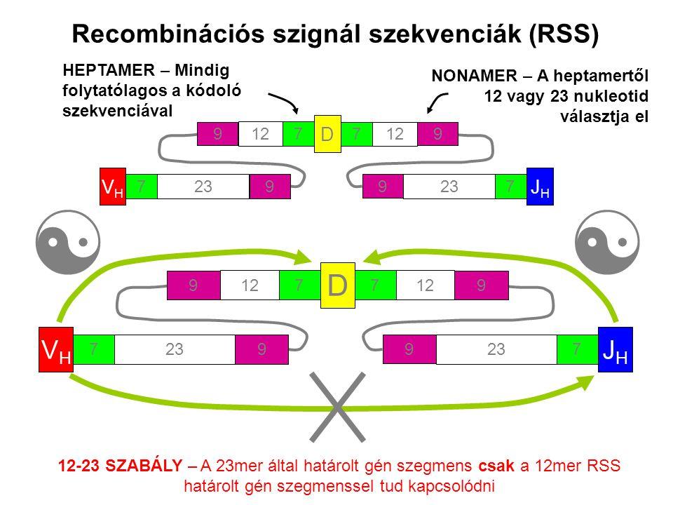 Recombinációs szignál szekvenciák (RSS) 12-23 SZABÁLY – A 23mer által határolt gén szegmens csak a 12mer RSS határolt gén szegmenssel tud kapcsolódni VHVH 723 9 D 712 9 7 9 JHJH 723 9 HEPTAMER – Mindig folytatólagos a kódoló szekvenciával NONAMER – A heptamertől 12 vagy 23 nukleotid választja el VHVH 723 9 D 712 9 7 9 JHJH 723 9 