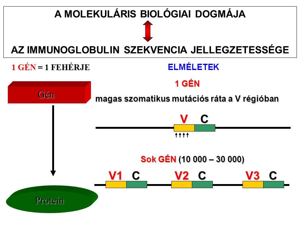 AZ IMMUNOGLOBULINOK MOLEKULÁRIS GENETIKÁJA Az egyetlen C régiót kódoló gén a csíravonalban el van választva a V régió génektől A V génekből többféle áll rendelkezésre Feltételezhető egy mechanizmus, amely a V és C géneket fúzionálja egy teljes immunglobulin génné Dreyer & Bennett feltételezése (1965) Egy adott izotípusú ellenanyag valószínűleg: Hogyan magyarázható az ellenanyagok kettős funkciója.