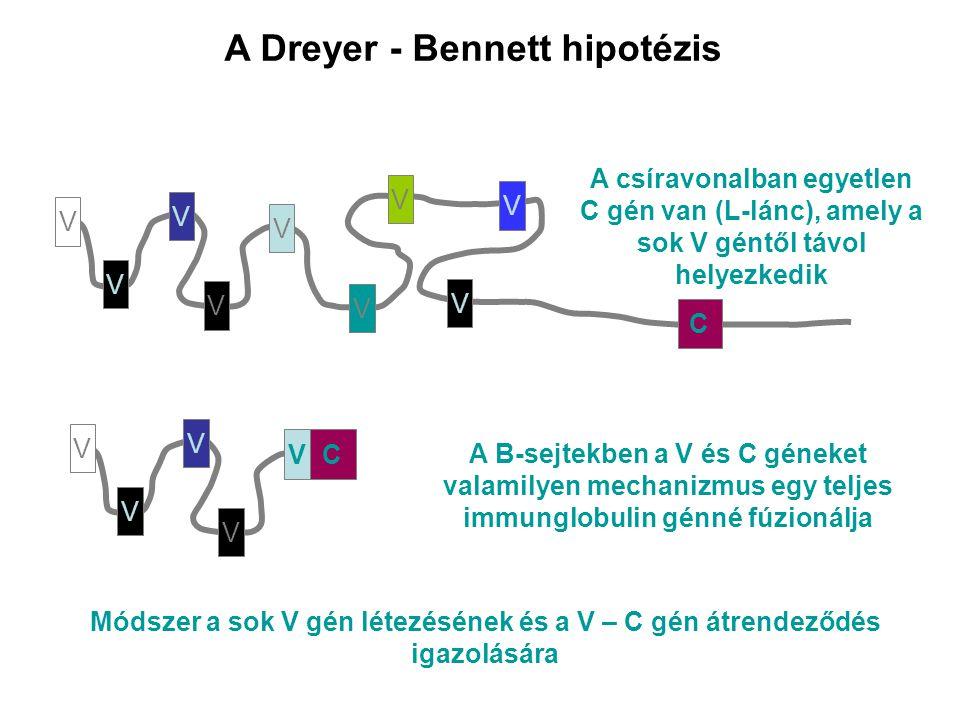 A Dreyer - Bennett hipotézis V V V V V V V V V V V V V A B-sejtekben a V és C géneket valamilyen mechanizmus egy teljes immunglobulin génné fúzionálja C V C A csíravonalban egyetlen C gén van (L-lánc), amely a sok V géntől távol helyezkedik Módszer a sok V gén létezésének és a V – C gén átrendeződés igazolására
