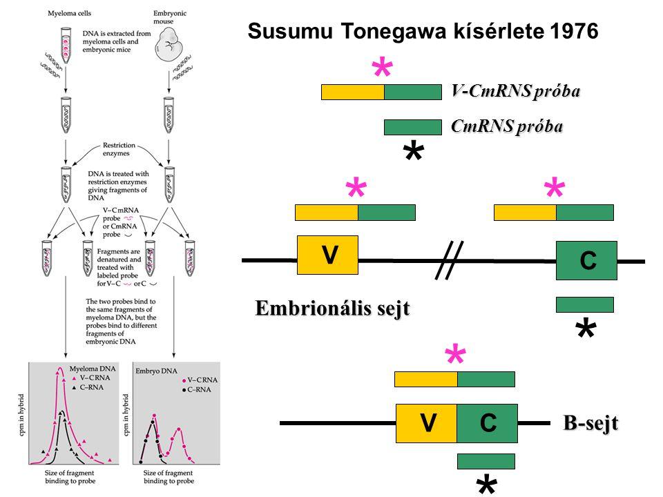 Susumu Tonegawa kísérlete 1976 ** * * * B-sejt VC V C Embrionális sejt V-CmRNS próba CmRNS próba * *