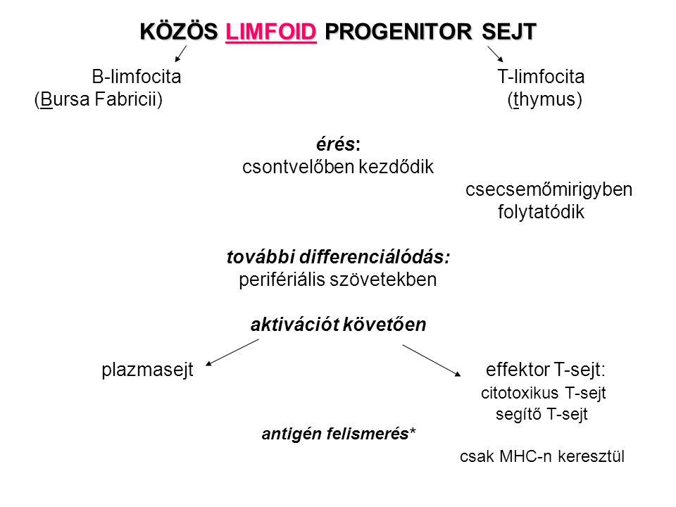 KÖZÖS LIMFOID PROGENITOR SEJT B-limfocitaT-limfocita (Bursa Fabricii) (thymus) érés: csontvelőben kezdődik csecsemőmirigyben folytatódik további differenciálódás: perifériális szövetekben aktivációt követően plazmasejt effektor T-sejt: citotoxikus T-sejt segítő T-sejt antigén felismerés* csak MHC-n keresztül