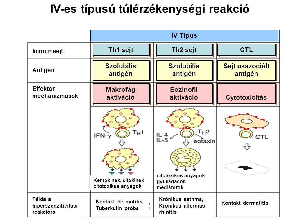 IV-es típusú túlérzékenységi reakció IV Típus Makrofág aktiváció Eozinofil aktivációCytotoxicitás Szolubilis antigén Szolubilis antigén Sejt asszociál