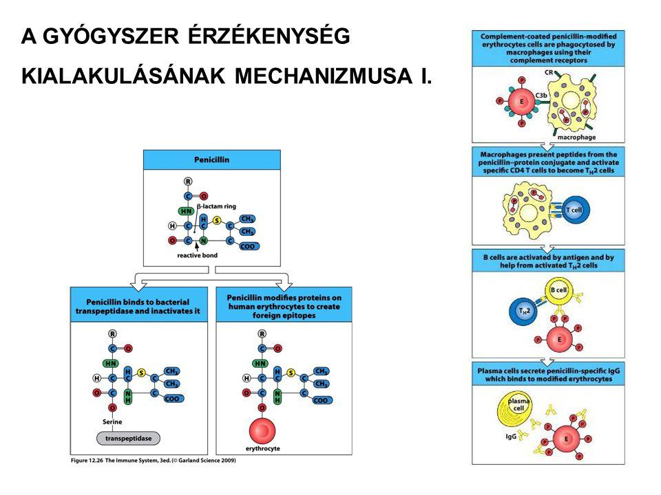 IV-es típusú túlérzékenységi reakció IV Típus Makrofág aktiváció Eozinofil aktivációCytotoxicitás Szolubilis antigén Szolubilis antigén Sejt asszociált antigén Th1 sejtTh2 sejtCTL Effektor mechanizmusok Antigén Példa a hiperszenzitivitási reakcióra Immun sejt Kontakt dermatitis, Tuberkulin próba Krónikus asthma, Krónikus allergiás rhinitis Kontakt dermatitis Kemokinek, citokinek citotoxikus anyagok gyulladásos mediátorok