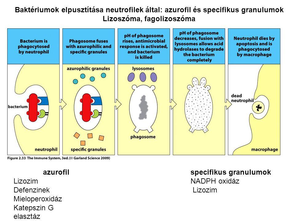 Baktériumok elpusztítása neutrofilek által: azurofil és specifikus granulumok Lizoszóma, fagolizoszóma azurofil specifikus granulumok LizozimNADPH oxi