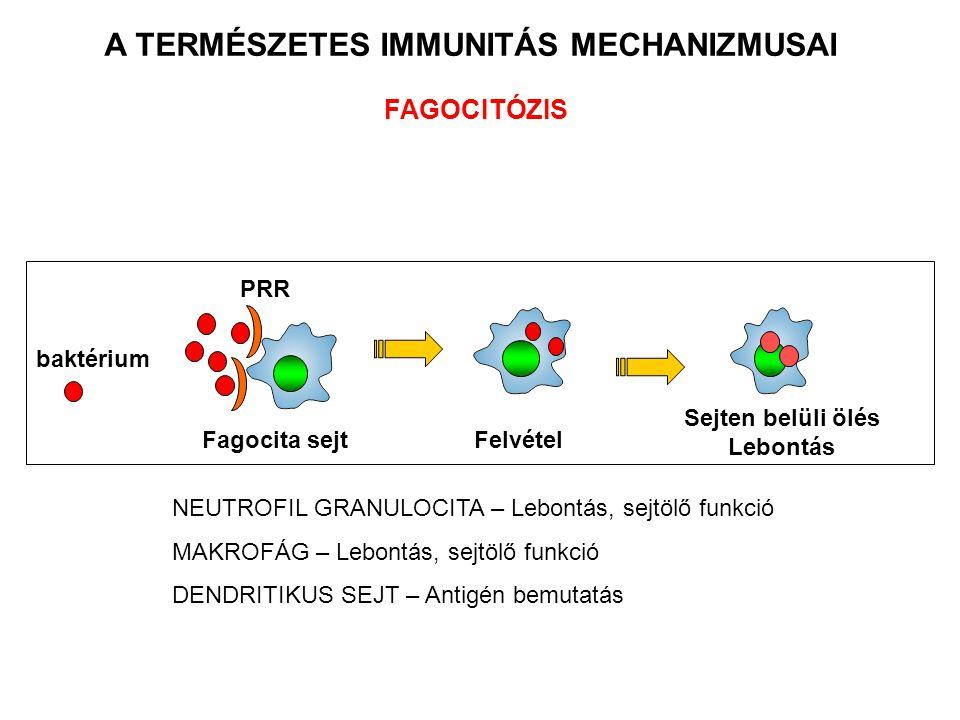 Sejten belüli ölés Lebontás FAGOCITÓZIS Fagocita sejt baktérium A TERMÉSZETES IMMUNITÁS MECHANIZMUSAI PRR Felvétel NEUTROFIL GRANULOCITA – Lebontás, s