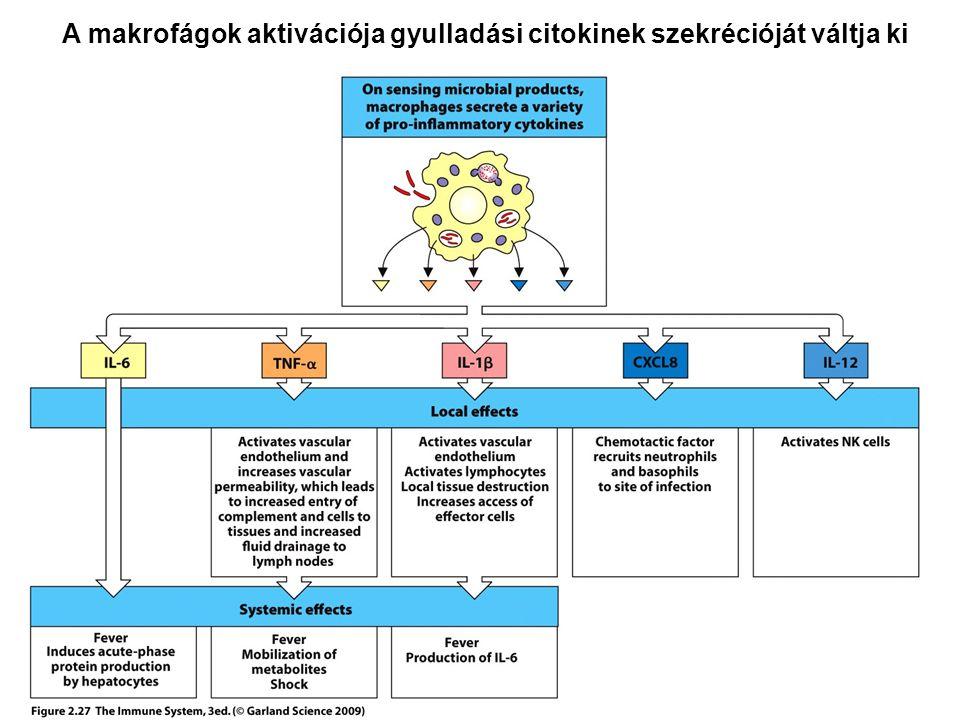 A makrofágok aktivációja gyulladási citokinek szekrécióját váltja ki