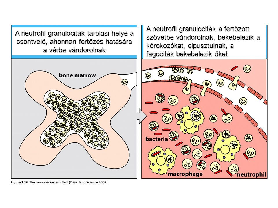 A neutrofil granulociták tárolási helye a csontvelő, ahonnan fertőzés hatására a vérbe vándorolnak A neutrofil granulociták a fertőzött szövetbe vándo