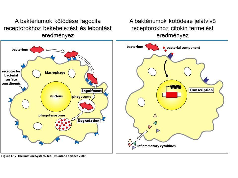 A baktériumok kötődése fagocita receptorokhoz bekebelezést és lebontást eredményez A baktériumok kötődése jelátvivő receptorokhoz citokin termelést er