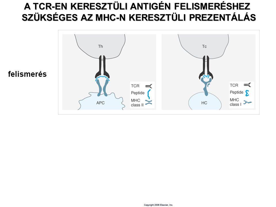 aktiválás A TCR-EN KERESZTÜLI ANTIGÉN FELISMERÉSHEZ SZÜKSÉGES AZ MHC-N KERESZTÜLI PREZENTÁLÁS felismerés