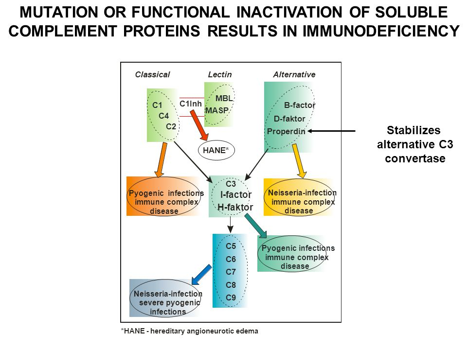 MUTATION OR FUNCTIONAL INACTIVATION OF SOLUBLE COMPLEMENT PROTEINS RESULTS IN IMMUNODEFICIENCY B-factor D-faktor Pyogenic infections immune complex disease Alternative Properdin C5 C6 C7 C8 C9 C3 I-factor H-faktor ClassicalLectin Neisseria-infection immune complex disease C1Inh HANE* Neisseria-infection severe pyogenic infections Pyogenic infections immune complex disease C1 MBL MASP C2 C4 *HANE - hereditary angioneurotic edema Stabilizes alternative C3 convertase