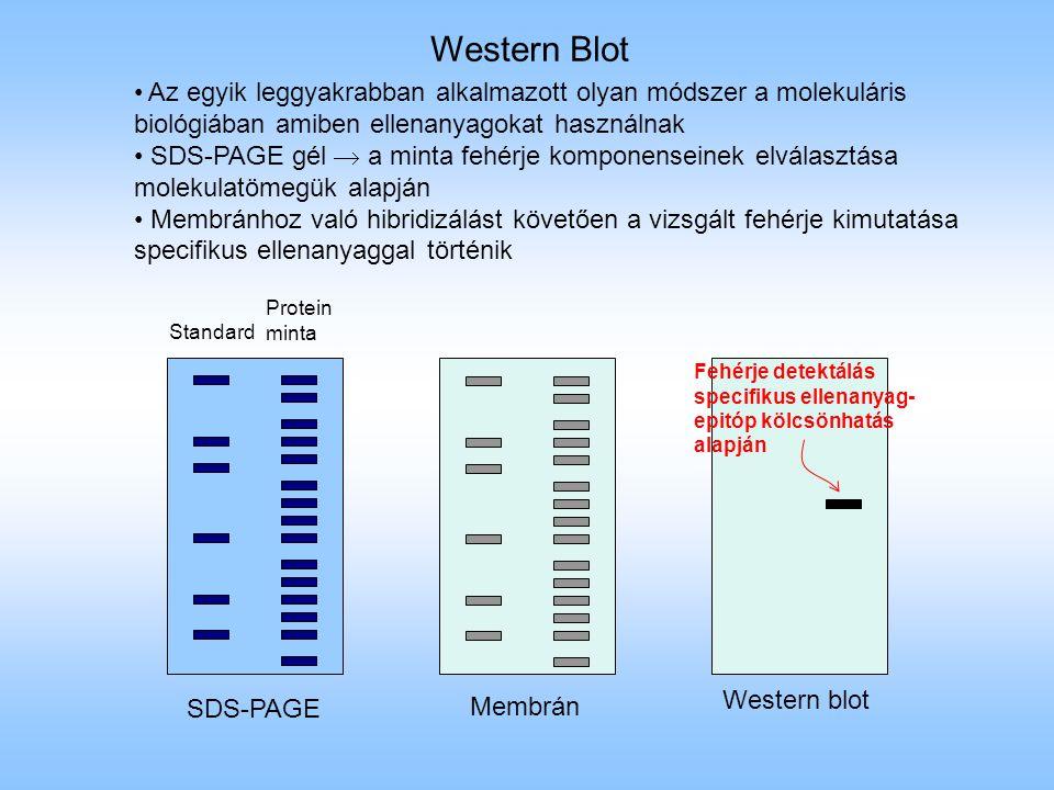 Az egyik leggyakrabban alkalmazott olyan módszer a molekuláris biológiában amiben ellenanyagokat használnak SDS-PAGE gél  a minta fehérje komponensei