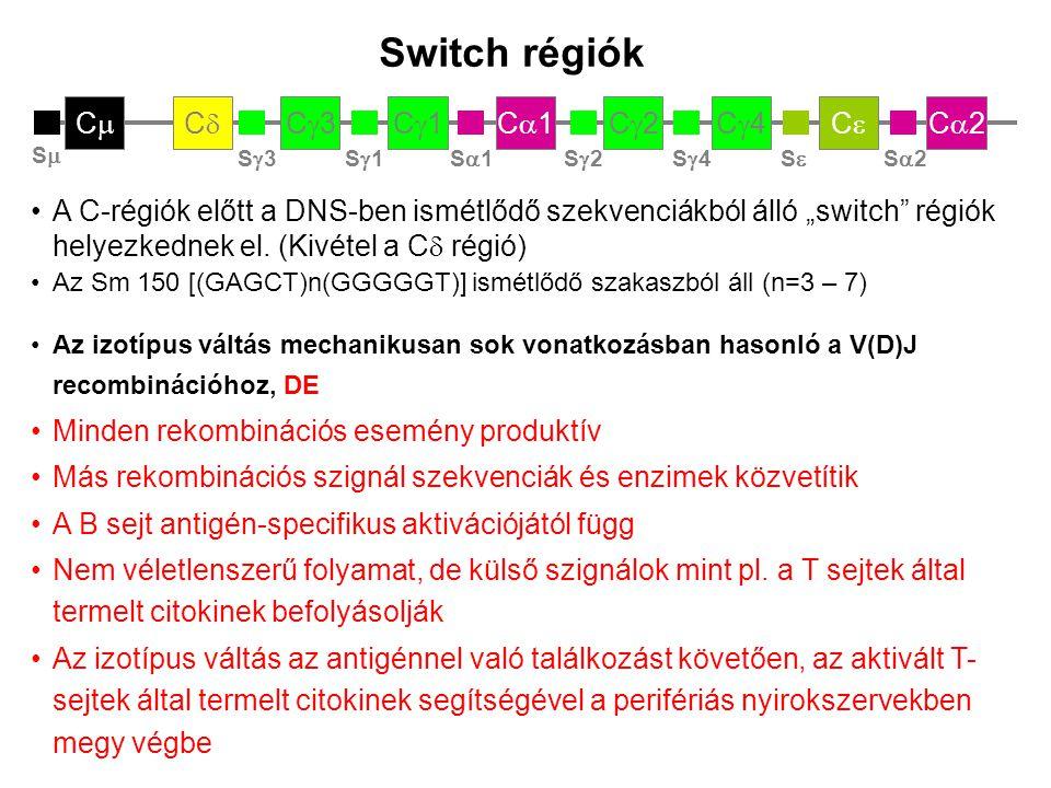 C2C2CC C4C4C2C2C1C1C1C1C3C3CC CC CC CC C3C3 V 23 D 5 J 4 S3S3 CC CC C3C3 C1C1 S1S1 C1C1 C3C3 C1C1 C3C3 IgG3 termelés IgM  IgG3 V 23 D 5 J 4 C1C1 IgA1 termelés IgG3  IgA1 V 23 D 5 J 4 C1C1 IgA1 termelés IgM  IgA1 Switch rekombináció Minden rekombinációnál a konstans régiók kivágódnak A génsorrend miatt egy IgE – termelő B sejt már nem tud IgM, IgD, IgG1-4 vagy IgA1 termelésre váltani