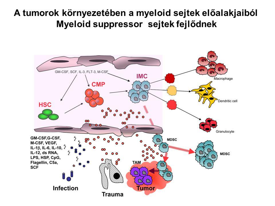 A tumorok környezetében a myeloid sejtek előalakjaiból Myeloid suppressor sejtek fejlődnek