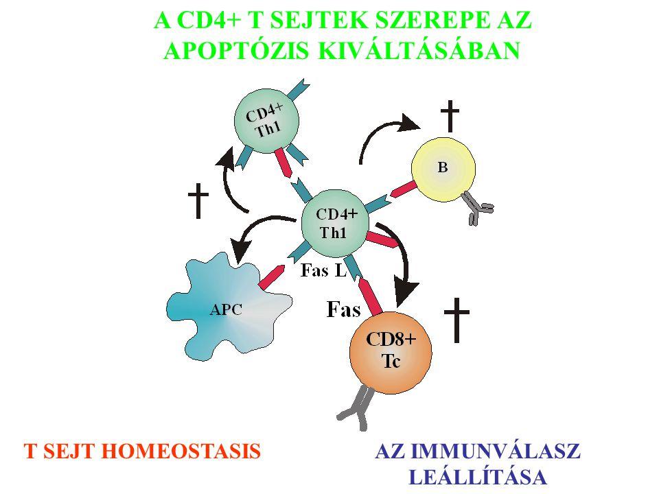 A CD4+ T SEJTEK SZEREPE AZ APOPTÓZIS KIVÁLTÁSÁBAN T SEJT HOMEOSTASISAZ IMMUNVÁLASZ LEÁLLÍTÁSA