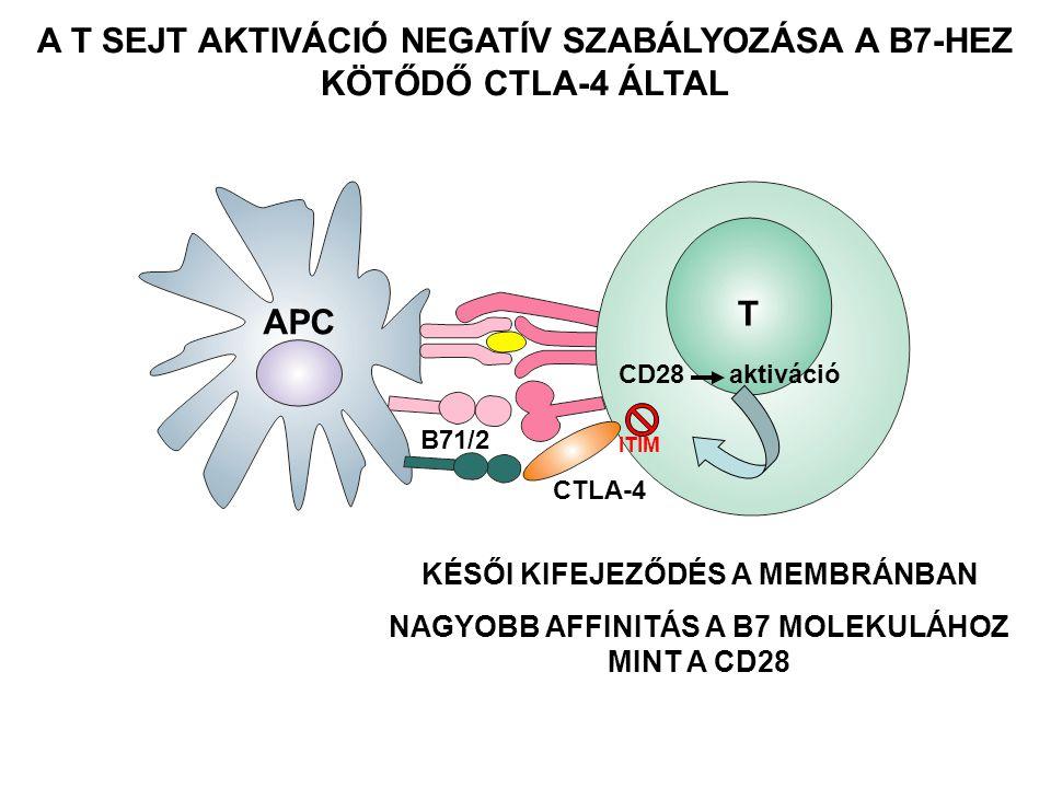 A T SEJT AKTIVÁCIÓ NEGATÍV SZABÁLYOZÁSA A B7-HEZ KÖTŐDŐ CTLA-4 ÁLTAL B71/2 KÉSŐI KIFEJEZŐDÉS A MEMBRÁNBAN NAGYOBB AFFINITÁS A B7 MOLEKULÁHOZ MINT A CD28 T APC CD28 aktiváció CTLA-4 ITIM