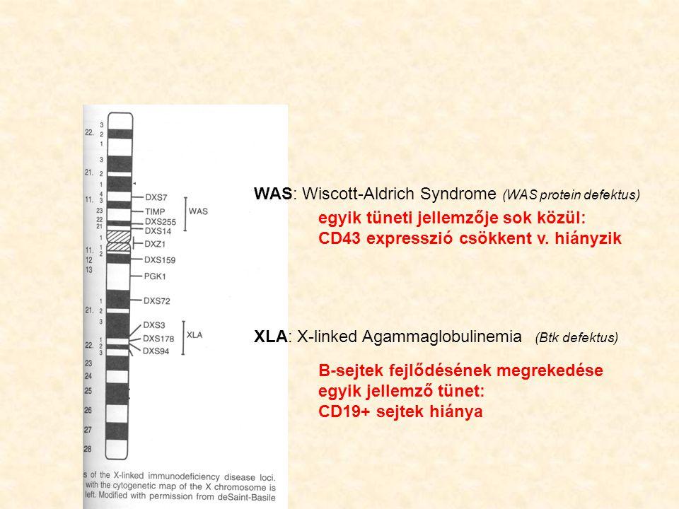WAS: Wiscott-Aldrich Syndrome (WAS protein defektus) XLA: X-linked Agammaglobulinemia (Btk defektus) B-sejtek fejlődésének megrekedése egyik jellemző tünet: CD19+ sejtek hiánya egyik tüneti jellemzője sok közül: CD43 expresszió csökkent v.