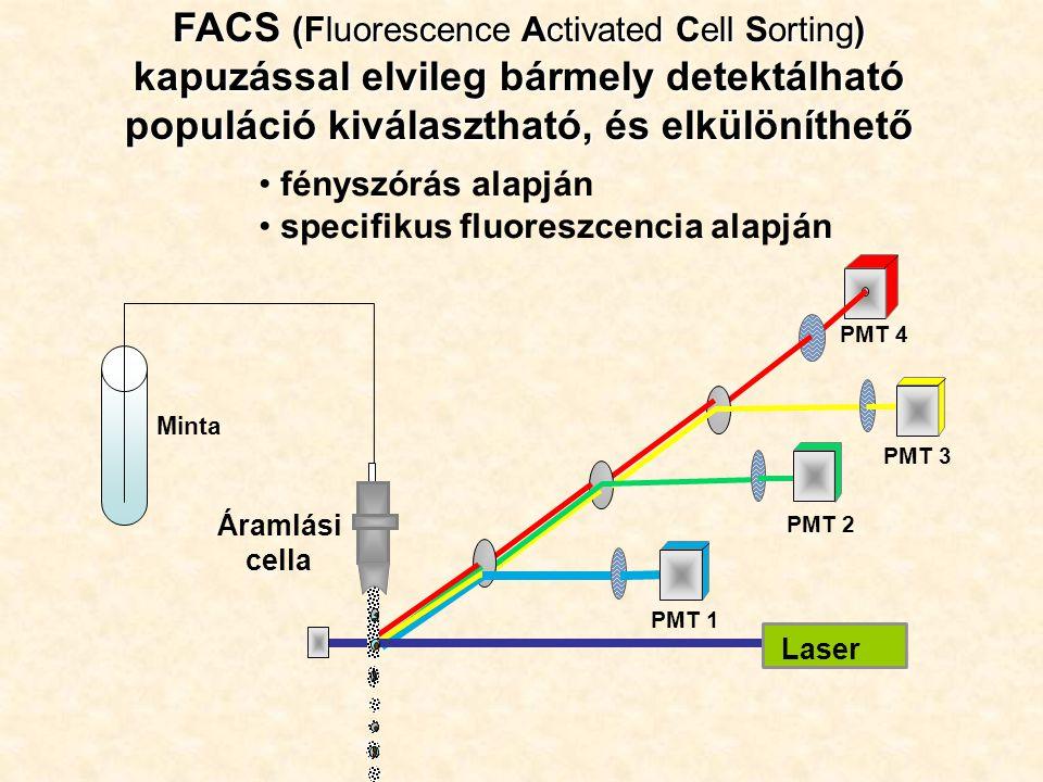 FACS (Fluorescence Activated Cell Sorting) kapuzással elvileg bármely detektálható populáció kiválasztható, és elkülöníthető PMT 1 PMT 2 PMT 4 Laser Áramlási cella PMT 3 Minta fényszórás alapján specifikus fluoreszcencia alapján