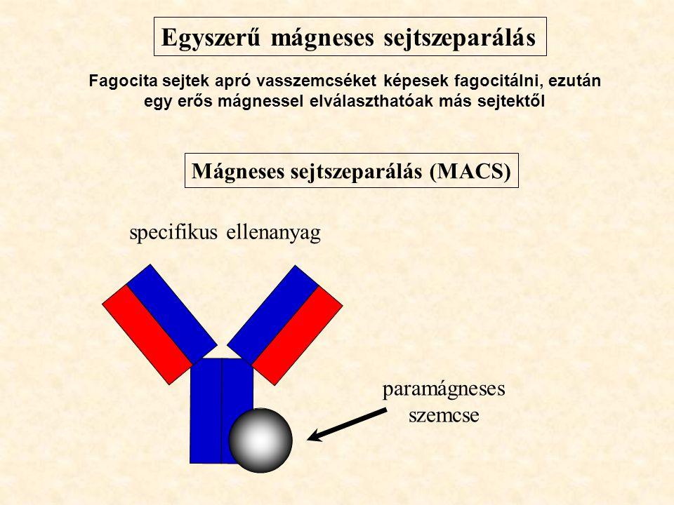 Mágneses sejtszeparálás (MACS) paramágneses szemcse specifikus ellenanyag Egyszerű mágneses sejtszeparálás Fagocita sejtek apró vasszemcséket képesek fagocitálni, ezután egy erős mágnessel elválaszthatóak más sejtektől