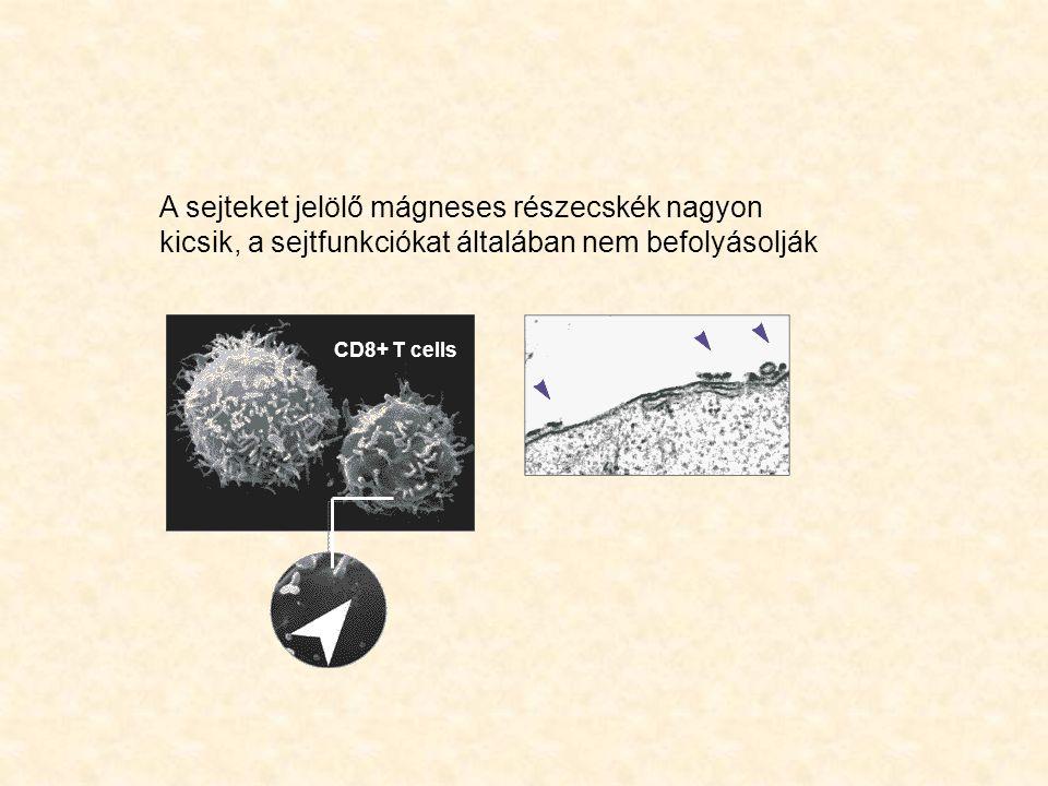 A sejteket jelölő mágneses részecskék nagyon kicsik, a sejtfunkciókat általában nem befolyásolják CD8+ T cells