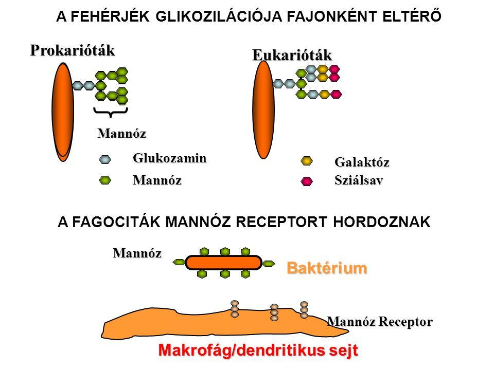 Eukarióták Glukozamin Mannóz Galaktóz Sziálsav A FEHÉRJÉK GLIKOZILÁCIÓJA FAJONKÉNT ELTÉRŐ Mannóz Prokarióták Makrofág/dendritikus sejt Mannóz Receptor Baktérium Mannóz A FAGOCITÁK MANNÓZ RECEPTORT HORDOZNAK