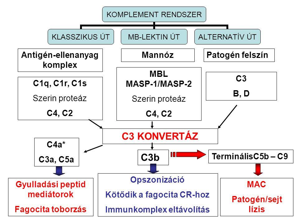 Antigén-ellenanyag komplex MannózPatogén felszín C1q, C1r, C1s Szerin proteáz C4, C2 MBL MASP-1/MASP-2 Szerin proteáz C4, C2 C3 B, D C3 KONVERTÁZ KOMPLEMENT RENDSZER KLASSZIKUS ÚT MB-LEKTIN ÚT ALTERNATÍV ÚT C4a* C3a, C5a Gyulladási peptid mediátorok Fagocita toborzás C3b Opszonizáció Kötődik a fagocita CR-hoz Immunkomplex eltávolítás TerminálisC5b – C9 MAC Patogén/sejt lízis