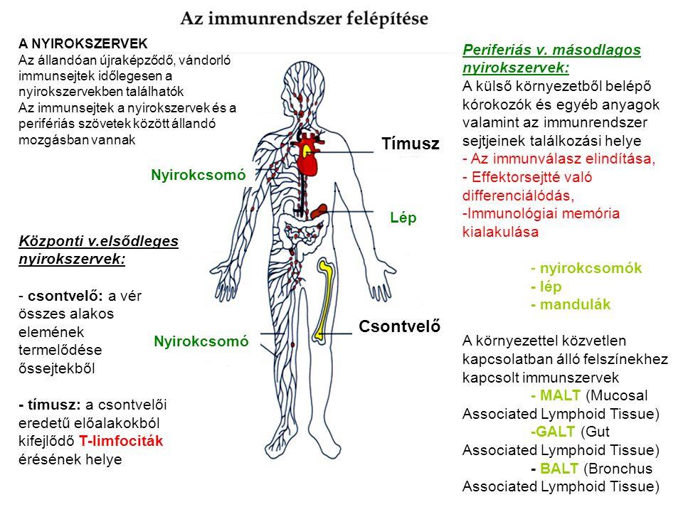 Tímusz Lép Csontvelő Nyirokcsomó A NYIROKSZERVEK Az állandóan újraképződő, vándorló immunsejtek időlegesen a nyirokszervekben találhatók Az immunsejtek a nyirokszervek és a perifériás szövetek között állandó mozgásban vannak Központi v.elsődleges nyirokszervek: - csontvelő: a vér összes alakos elemének termelődése őssejtekből - tímusz: a csontvelői eredetű előalakokból kifejlődő T-limfociták érésének helye Periferiás v.