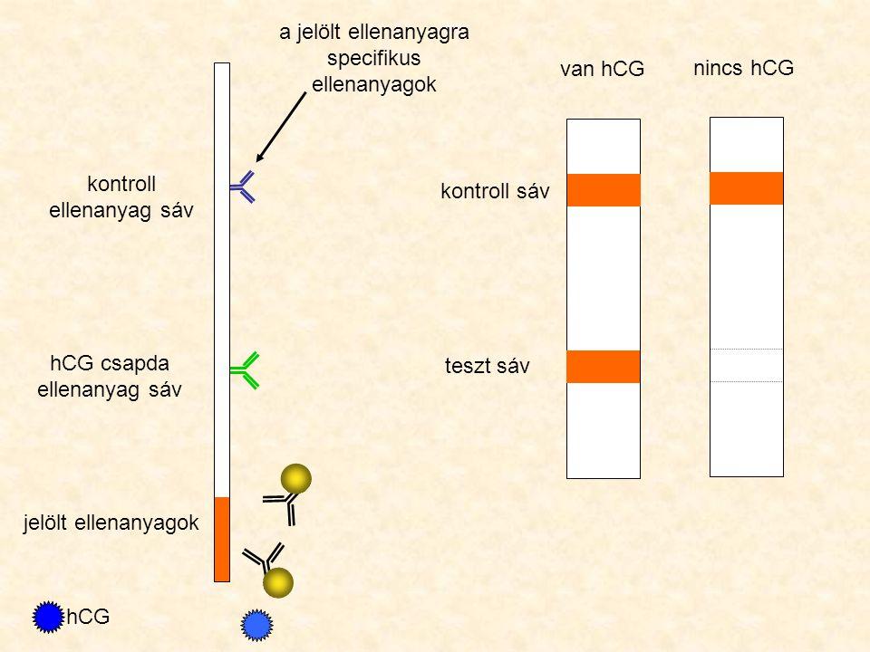 hCG csapda ellenanyag sáv kontroll ellenanyag sáv jelölt ellenanyagok hCG kontroll sáv teszt sáv van hCG nincs hCG a jelölt ellenanyagra specifikus ellenanyagok