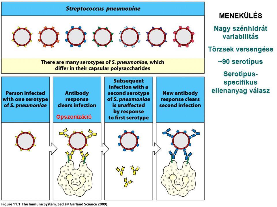 Opszonizáció MENEKÜLÉS Nagy szénhidrát variabilitás Törzsek versengése ~90 serotípus Serotípus- specifikus ellenanyag válasz