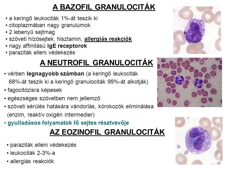 A BAZOFIL GRANULOCITÁK a keringő leukociták 1%-át teszik ki citoplazmában nagy granulumok 2 lebenyű sejtmag szöveti hízósejtek, hisztamin, allergiás reakciók nagy affinitású IgE receptorok paraziták elleni védekezés A NEUTROFIL GRANULOCITÁK vérben legnagyobb számban (a keringő leukociták 68%-át teszik ki a keringő granulociták 99%-át alkotják) fagocitózisra képesek egészséges szövetben nem jellemző szöveti sérülés hatására vándorlás, kórokozók eliminálása (enzim, reaktív oxigén intermedier) gyulladásos folyamatok fő sejtes résztvevője AZ EOZINOFIL GRANULOCITÁK paraziták elleni védekezés leukociták 2-3%-a allergiás reakciók