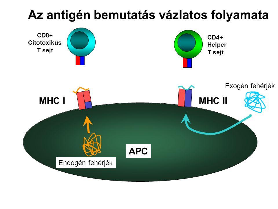 Az antigén bemutatás vázlatos folyamata APC MHC IMHC II CD8+ Citotoxikus T sejt CD4+ Helper T sejt Endogén fehérjék Exogén fehérjék