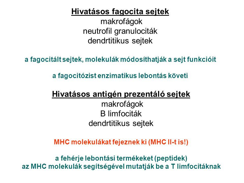 Hivatásos fagocita sejtek makrofágok neutrofil granulociták dendrtitikus sejtek a fagocitált sejtek, molekulák módosíthatják a sejt funkcióit a fagocitózist enzimatikus lebontás követi Hivatásos antigén prezentáló sejtek makrofágok B limfociták dendrtitikus sejtek MHC molekulákat fejeznek ki (MHC II-t is!) a fehérje lebontási termékeket (peptidek) az MHC molekulák segítségével mutatják be a T limfocitáknak