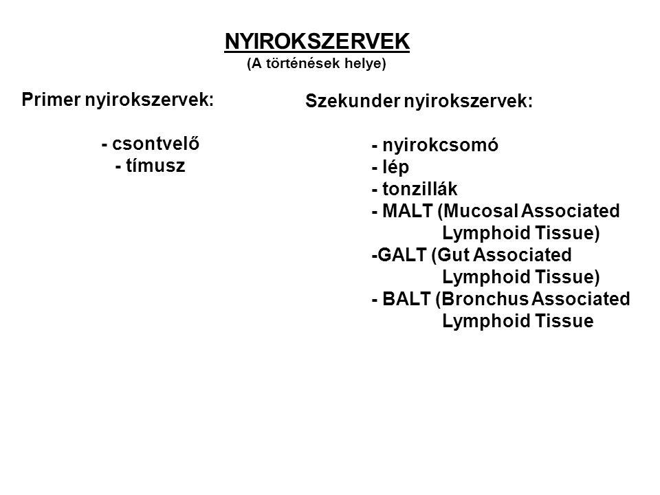 Primer nyirokszervek: - csontvelő - tímusz Szekunder nyirokszervek: - nyirokcsomó - lép - tonzillák - MALT (Mucosal Associated Lymphoid Tissue) -GALT (Gut Associated Lymphoid Tissue) - BALT (Bronchus Associated Lymphoid Tissue NYIROKSZERVEK (A történések helye)