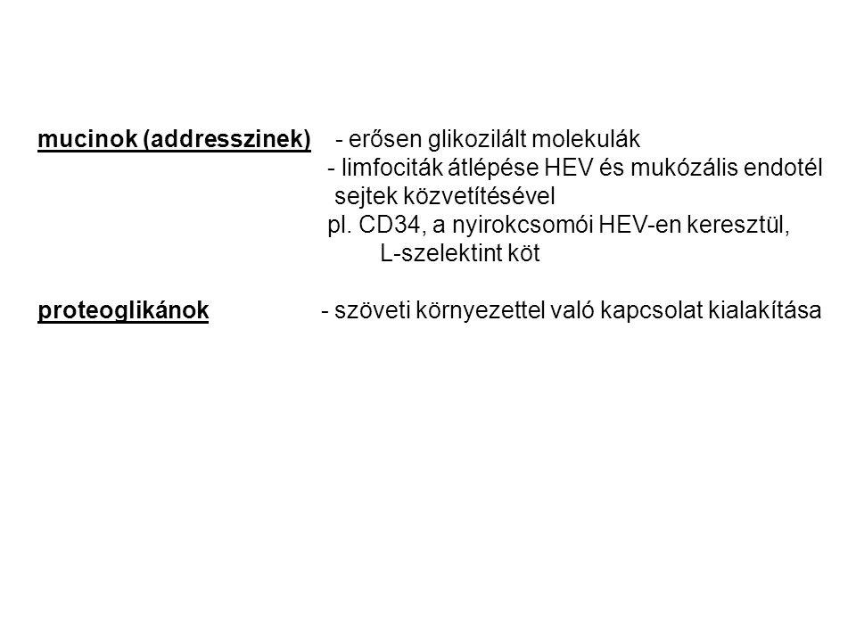 mucinok (addresszinek) - erősen glikozilált molekulák - limfociták átlépése HEV és mukózális endotél sejtek közvetítésével pl.