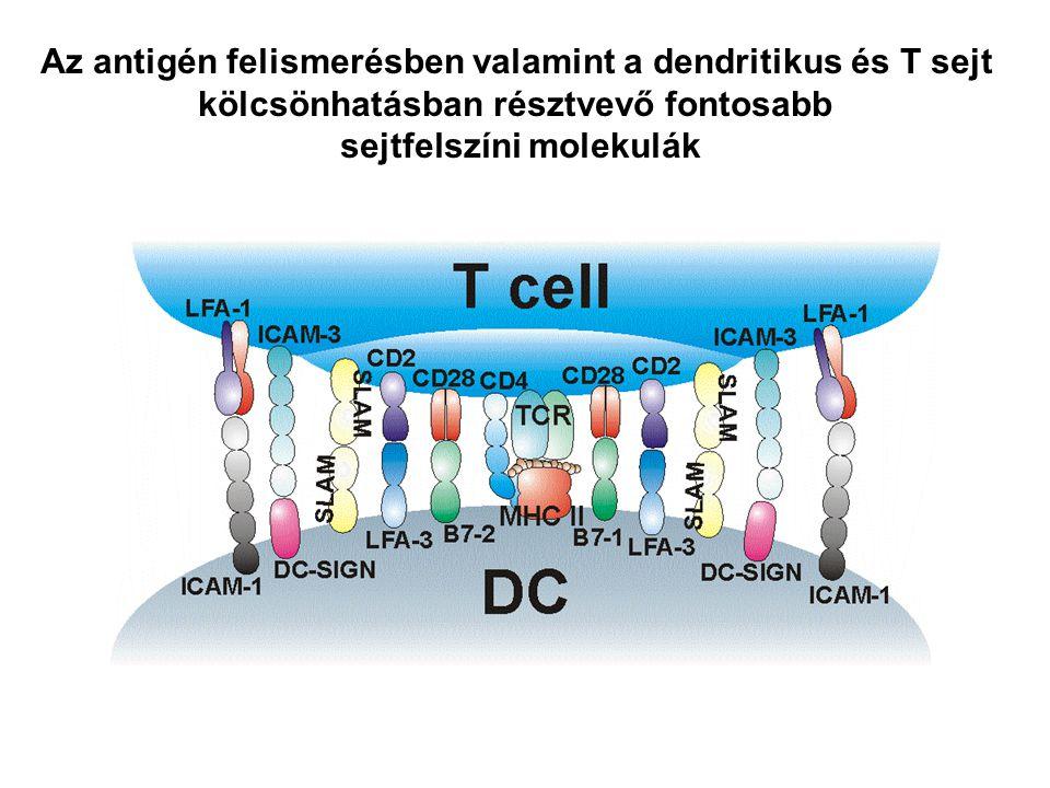 Az antigén felismerésben valamint a dendritikus és T sejt kölcsönhatásban résztvevő fontosabb sejtfelszíni molekulák