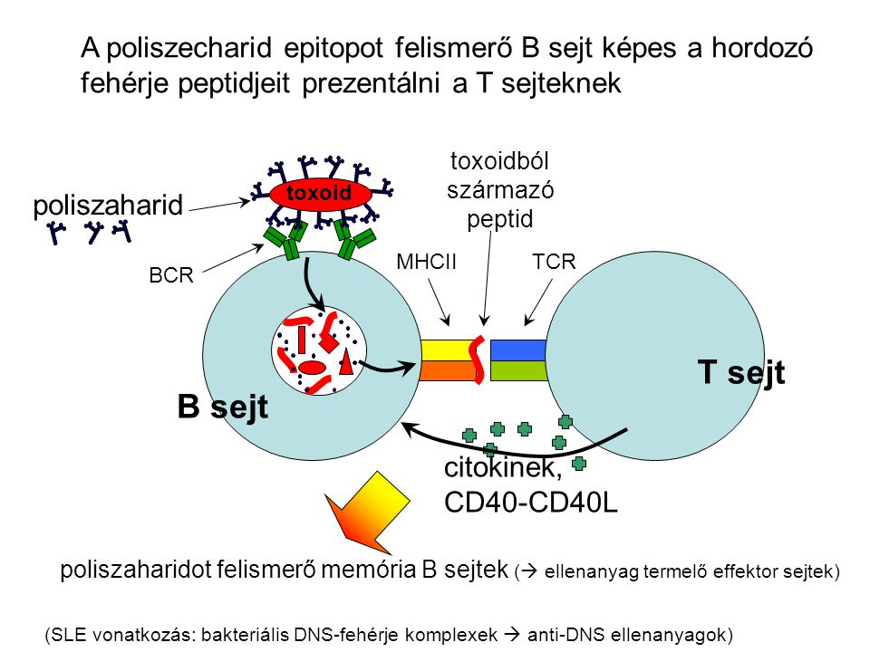 B sejt poliszaharid T sejt BCR TCRMHCII citokinek, CD40-CD40L toxoid toxoidból származó peptid A poliszecharid epitopot felismerő B sejt képes a hordo