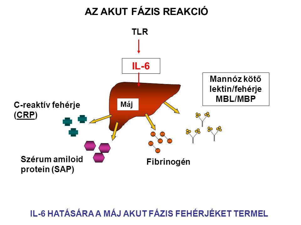 Máj IL-6 Mannóz kötő lektin/fehérje MBL/MBP Fibrinogén Szérum amiloid protein (SAP) C-reaktív fehérje (CRP) AZ AKUT FÁZIS REAKCIÓ IL-6 HATÁSÁRA A MÁJ