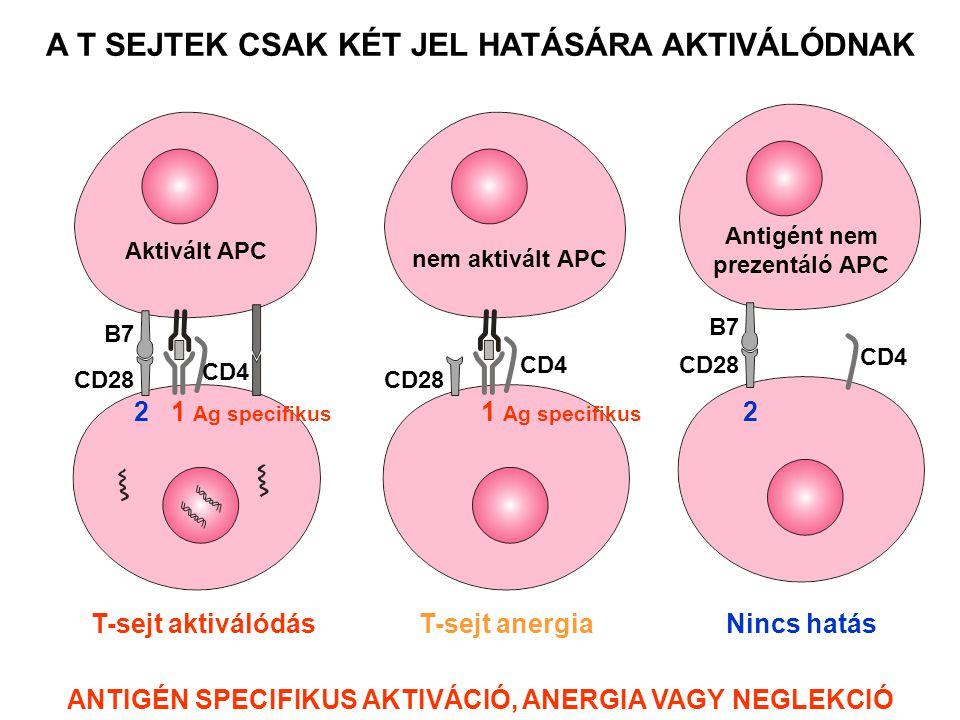 CD4 CD28 B7 Antigént nem prezentáló APC CD4 CD28 nem aktivált APC T-sejt aktiválódás A T SEJTEK CSAK KÉT JEL HATÁSÁRA AKTIVÁLÓDNAK Aktivált APC CD28 C