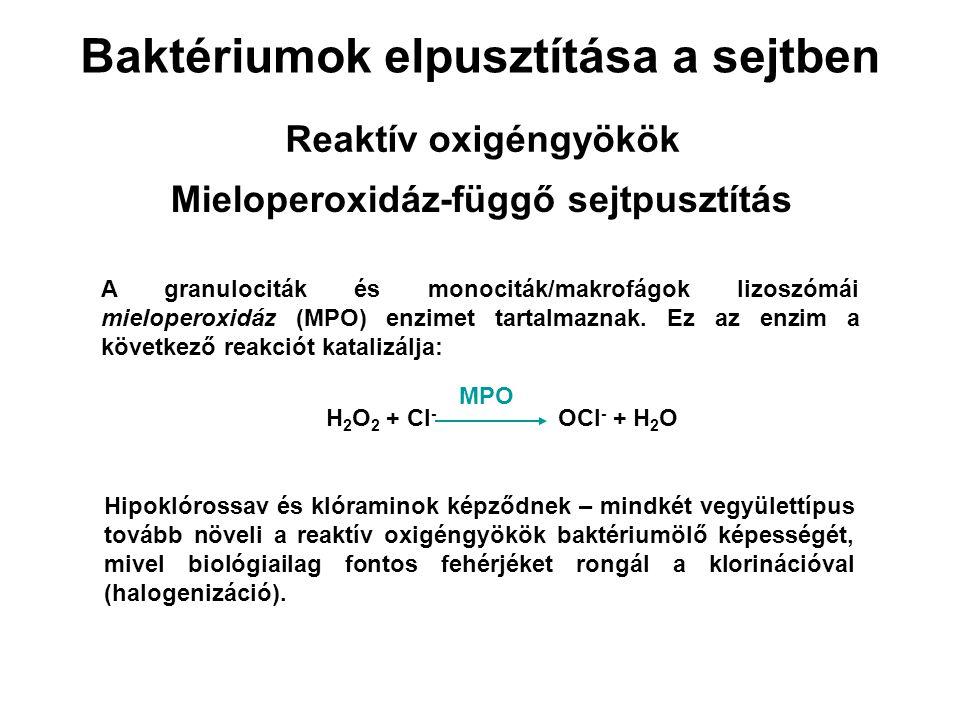 Baktériumok elpusztítása a sejtben Reaktív oxigéngyökök Mieloperoxidáz-függő sejtpusztítás A granulociták és monociták/makrofágok lizoszómái mielopero