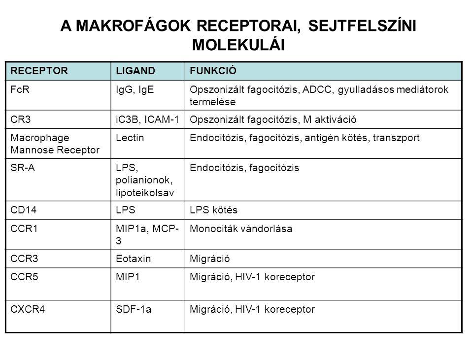 RECEPTORLIGANDFUNKCIÓ FcRIgG, IgEOpszonizált fagocitózis, ADCC, gyulladásos mediátorok termelése CR3iC3B, ICAM-1Opszonizált fagocitózis, M aktiváció M