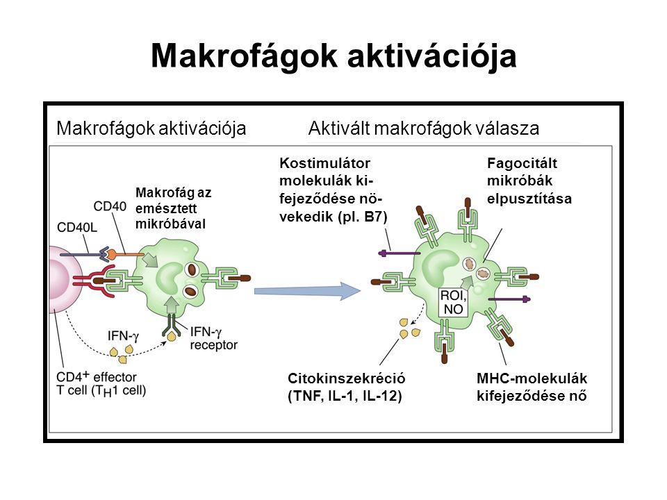 Makrofágok aktivációja Aktivált makrofágok válasza Makrofág az emésztett mikróbával Kostimulátor molekulák ki- fejeződése nö- vekedik (pl. B7) Fagocit