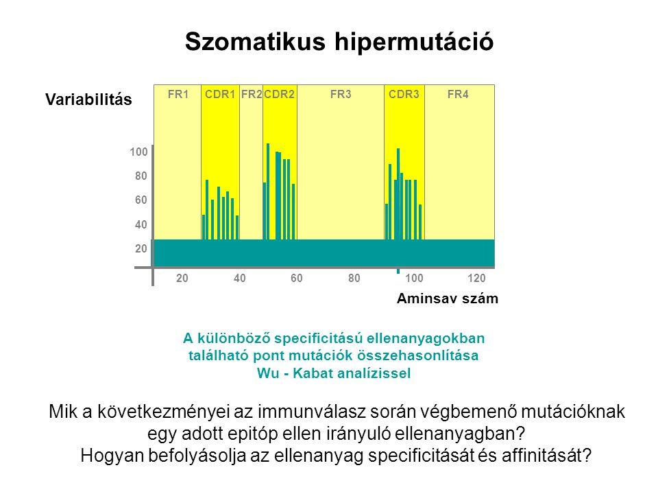 Szomatikus hipermutáció FR1FR2FR3FR4CDR2CDR3CDR1 Aminsav szám Variabilitás 80 100 60 40 20 406080100120 A különböző specificitású ellenanyagokban talá
