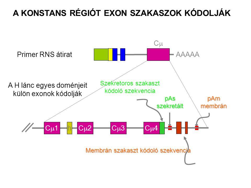 Primer RNS átiratAAAAA CC pAs szekretált pAmmembrán A KONSTANS RÉGIÓT EXON SZAKASZOK KÓDOLJÁK C1C1C2C2C3C3C4C4 A H lánc egyes doménjeit külö
