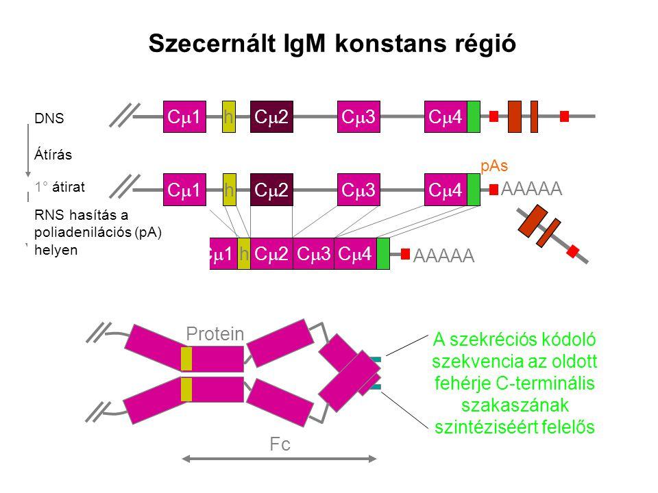 mRNA Szecernált IgM konstans régió C1C1C2C2C3C3C4C4 AAAAA h C1C1C2C2C3C3C4C4 DNS h RNS hasítás a poliadenilációs (pA) helyen 1° átirat
