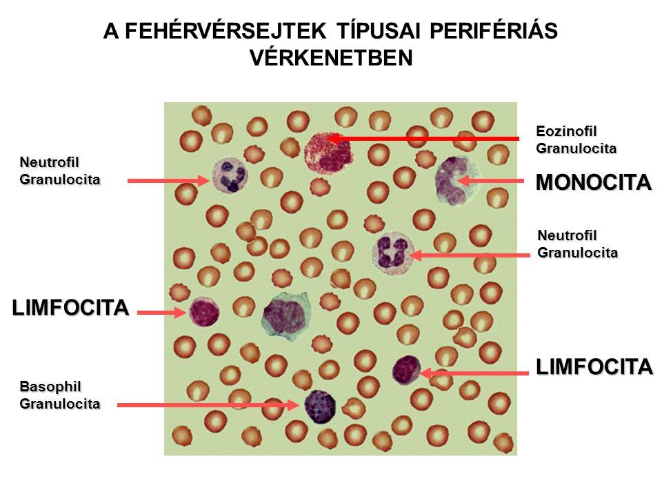 LIMFOCITA LIMFOCITA MONOCITA Neutrofil Granulocita Basophil Granulocita Neutrofil Granulocita Eozinofil Granulocita A FEHÉRVÉRSEJTEK TÍPUSAI PERIFÉRIÁ