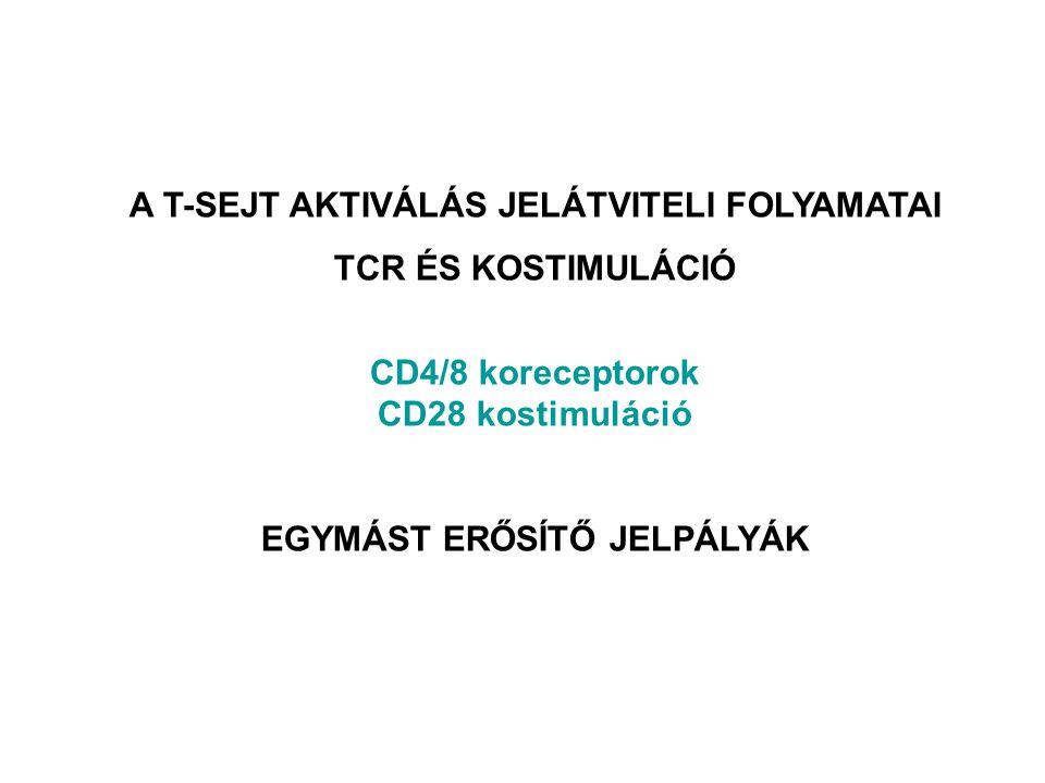 A T-SEJT AKTIVÁLÁS JELÁTVITELI FOLYAMATAI TCR ÉS KOSTIMULÁCIÓ CD4/8 koreceptorok CD28 kostimuláció EGYMÁST ERŐSÍTŐ JELPÁLYÁK